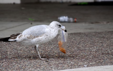 Seagulls are attracted to after lunch trash. (Credit: Jared Cohn 12-6-12)