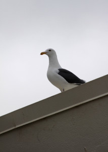 A seagull sits on top of the New Gym after the lunch crowd has left Lancer Plaza. In an attempt to dissuade Carlsbad's pesky seagulls from attacking students and removing trash from the trash cans, administration strung fishing line across the plaza.