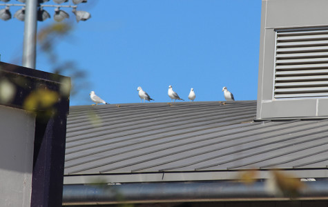 They're everywhere, through the leaves, on the roofs and up above. The seagulls are more organized than we thought, planning out attacks well before they strike for our food.