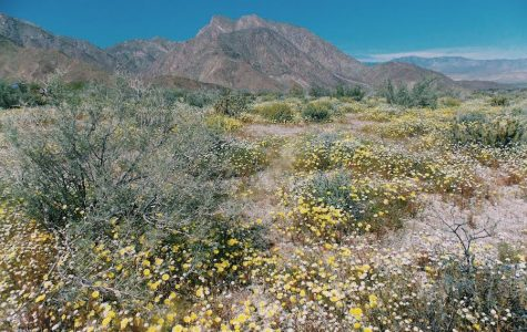 Anza-Borrego wildflowers bloom for first time since 2005