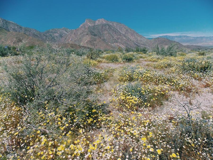 The Anzo-Borrego fields take bloom. Not only are the fields a beautiful sight, but a favorable destination for tourists.