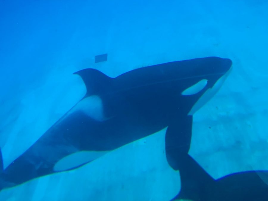 The Killer Whale in Sea World's tanks are held in captivity. This comes after the controversial documentary Black Fish.
