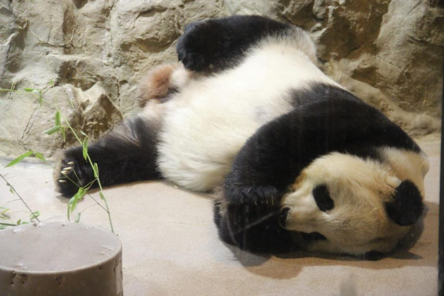 Tian+Tian+lounges+around+during+nap+time.+Tian+Tian+is+the+Smithsonian+National+Zoological+Park%27s+male+giant+panda+on+loan+from+China.