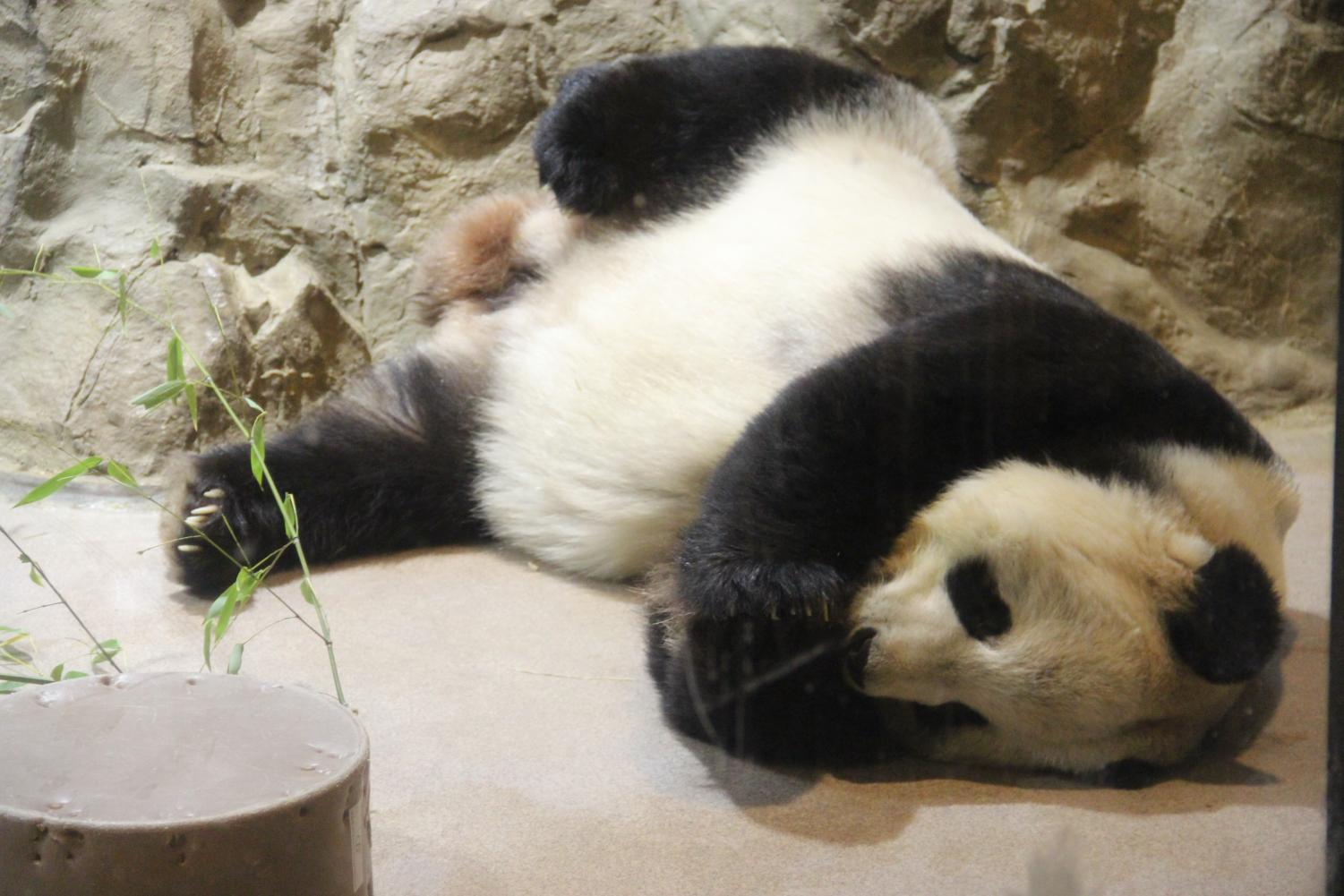 Tian Tian lounges around during nap time. Tian Tian is the Smithsonian National Zoological Park's male giant panda on loan from China.